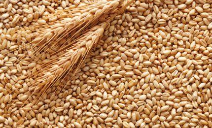 Pagliaro agli agricoltori siciliani: stoccate il grano duro e vendetelo a Natale quando i prezzi saranno alle stelle!