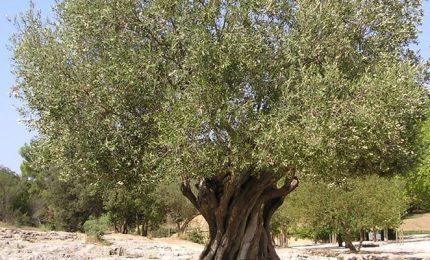 I polifenoli nell'olio d'oliva e la tecnica di potatura degli olivi a Ribera
