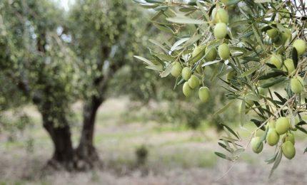 """Cambiamenti climatici e """"complottisti"""" Gli effetti sugli olivi della Sicilia occidentale. E sulle api/ MATTINALE 390"""