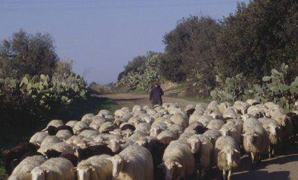Latte di pecora: serve un messaggio preciso a Roma e agli industriali del Pecorino