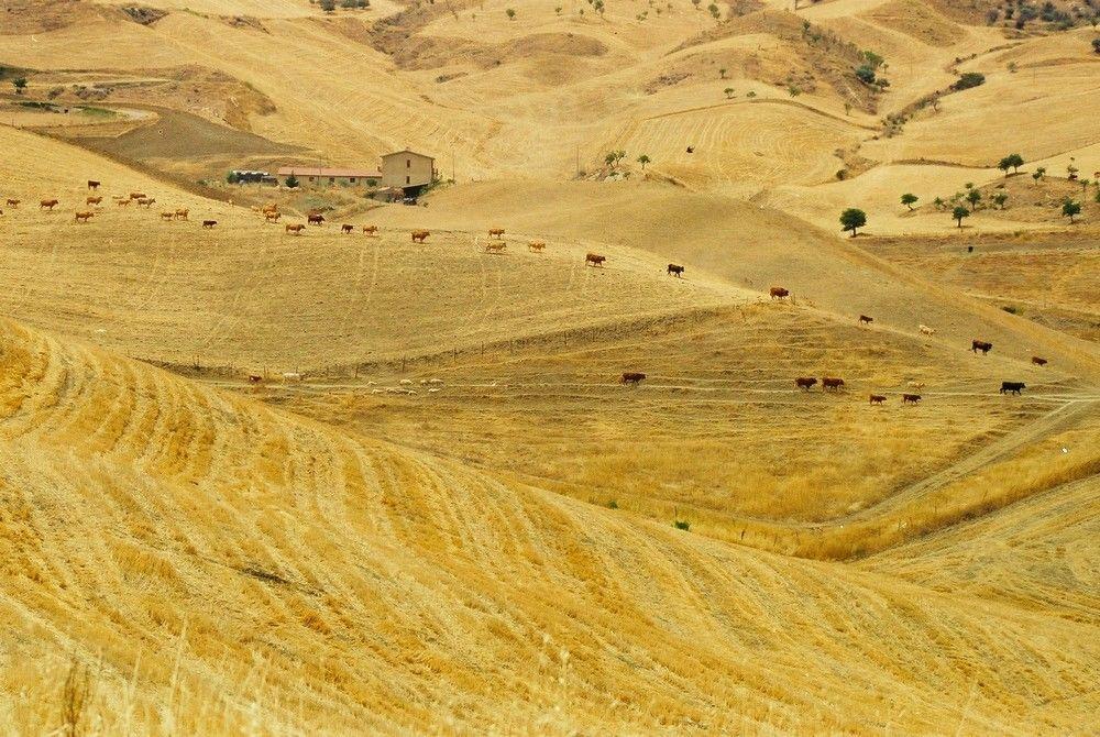 In crescita il prezzo del grano duro del Sud (tranne che in Sicilia dove…)