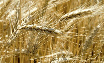 Una proposta ai produttori di grano duro del Sud e della Sicilia: fissate il prezzo a 40 euro a quintale e.../ MATTINALE 441