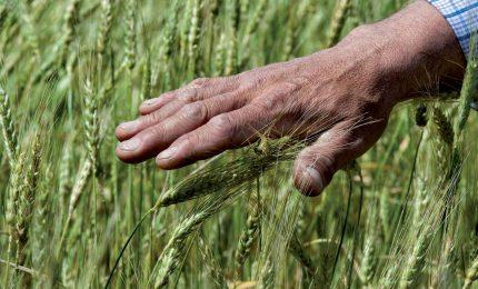 Se volete evitare il grano canadese non acquistate pasta industriale, ma solo pasta locale artigianale/ MATTINALE 419