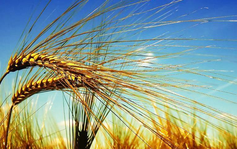 Saranno il mercato e la CUN a portare il grano duro del Sud a 40 euro al quintale/ MATTINALE 445