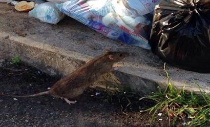 Palermo e la 'munnizza': gabbiani, scarafaggi e adesso anche i topi!