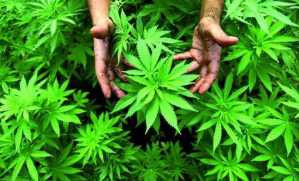 Italia: limiti per la produzione di canapa industriale e sì alla coltivazione della cannabis per uso personale!