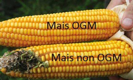 La Commissione europea ha autorizzato l'importazione di altri otto Organismi geneticamente modificati (Ogm)