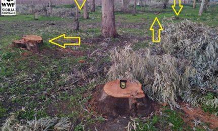 Incredibile a Delia: abbattuti gli alberi di un'area verde! Perché hanno fatto questo?