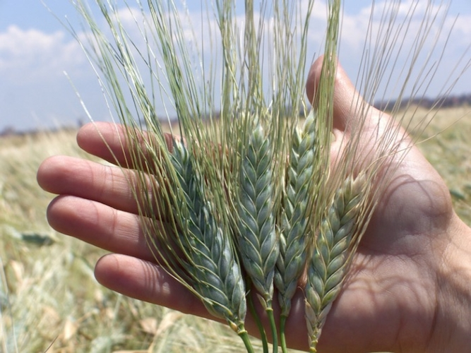 Sempre contro i produttori di grano duro: la denuncia di GranoSalus sulla CUN