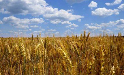Il commercio del grano in Italia: le cinque domande di GranoSalus al gruppo Casillo