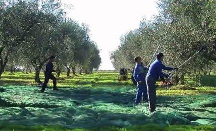 In Puglia il gruppo MEGAMARKET vende solo olio d'oliva pugliese. E in Sicilia?/ MATTINALE 506