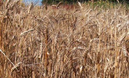 Navi di grano a tempesta e prezzo del grano siciliano stracciato: ma cosa ci fanno mangiare?/ MATTINALE 525