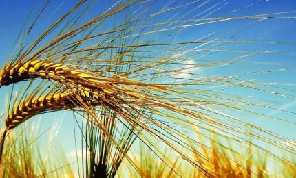 Nel mondo c'è chi blocca le esportazioni di grano, nel Sud e in Sicilia agricoltori abbandonati