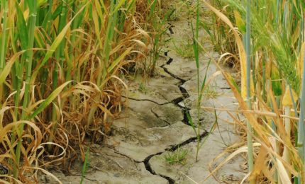 Grano duro siciliano: la prolungata siccità si è 'mangiata' buona parte della produzione