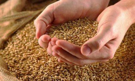 """Al via il progetto """"Grani Iblei"""" per dire basta ai grani esteri e valorizzare i grani antichi siciliani"""