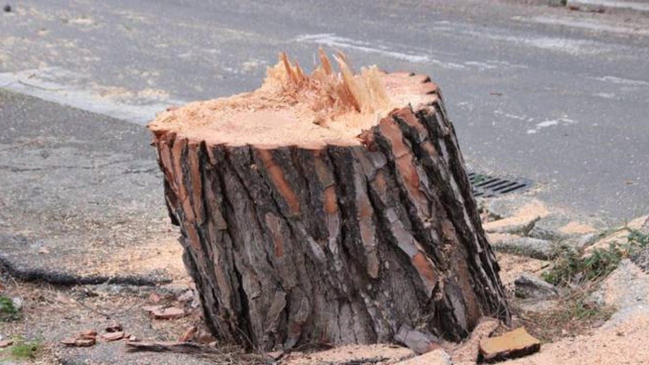 Palermo, abbattuti anche gli alberi di via Belgio e uno dei pini secolari di via Ugo la Malfa