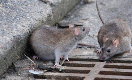 Allo ZEN centinaia di topi: la denuncia dell'Associazione Comitati Civici di Palermo