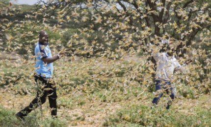 La cavallette stanno invadendo tante aree del mondo con danni enormi all'agricoltura