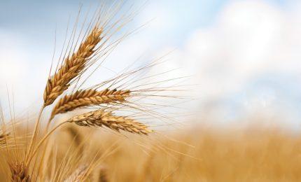 Grano duro: crolla la produzione in Puglia. I prezzi dovrebbero salire, ma...