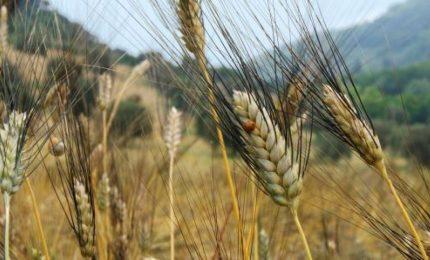 Grano duro: ha vinto il Nord, in tanti in Sicilia e nel Sud non coltivano più il Senatore Cappelli/ MATTINALE 456