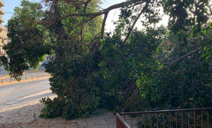 PALERMO-CITTA' 24/ Olé: crolla l'albero di corso Tukory, altra 'perla' del Comune...