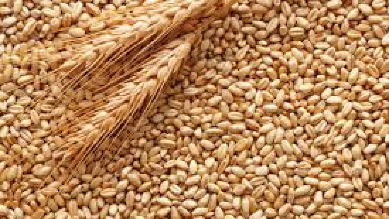 SERALE/ Speculazione al ribasso sul grano duro siciliano: 26,5 euro al quintale invece che 35 euro!