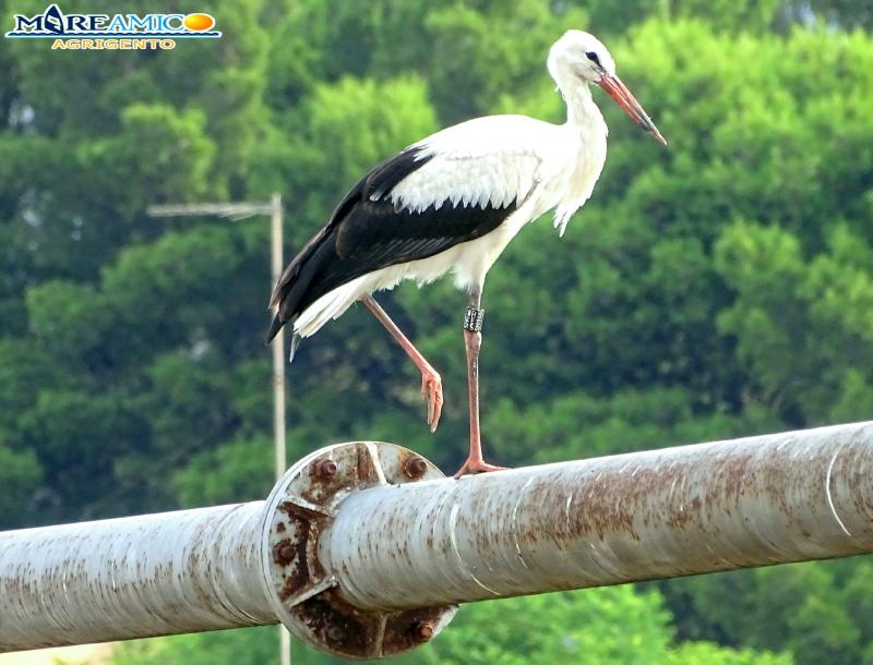 Agrigento e la cicogna che scruta dove trovare il luogo per costruire il suo nido (VIDEO)