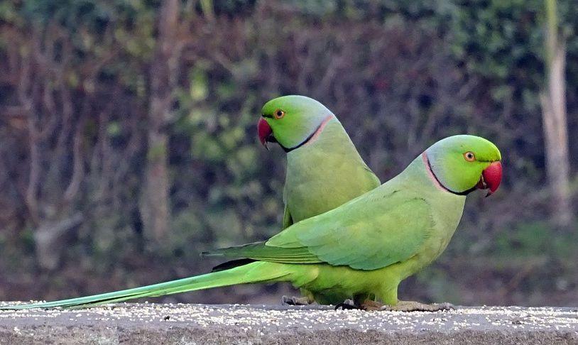 In Puglia i pappagalli verdi si stanno pappando tutte le mandorle. Paura anche in Sicilia?
