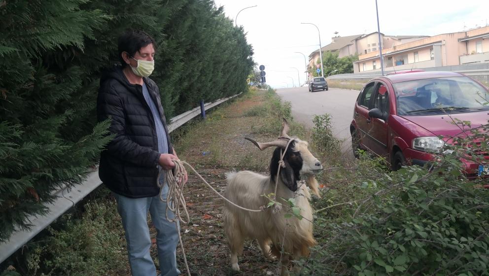 A Sant'Agata di Militello una capra libera le strade e i giardini della città dalle erbe