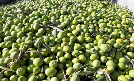 Aumentano le importazioni di olio d'oliva tunisino, ma in Italia l'extra vergine è tutto italiano.../SERALE