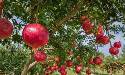 In piena diffusione in Sicilia il melograno, con i suoi frutti antitumorali