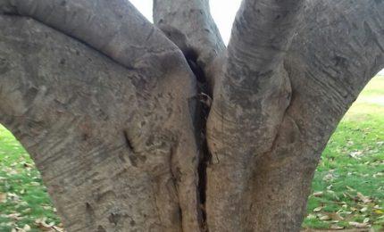 Ficus del Foro Italico tagliati: a Palermo la fotosintesi clorofilliana è 'tossica'...