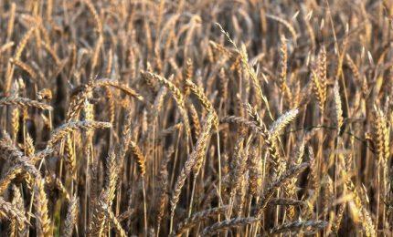 Creso, il grano dei misteri: un OGM non transgenico che ha conquistato il mondo