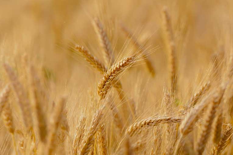 L'Italia 'invasa' dal grano duro biologico della Romania, crolla il prezzo del grano duro biologico siciliano