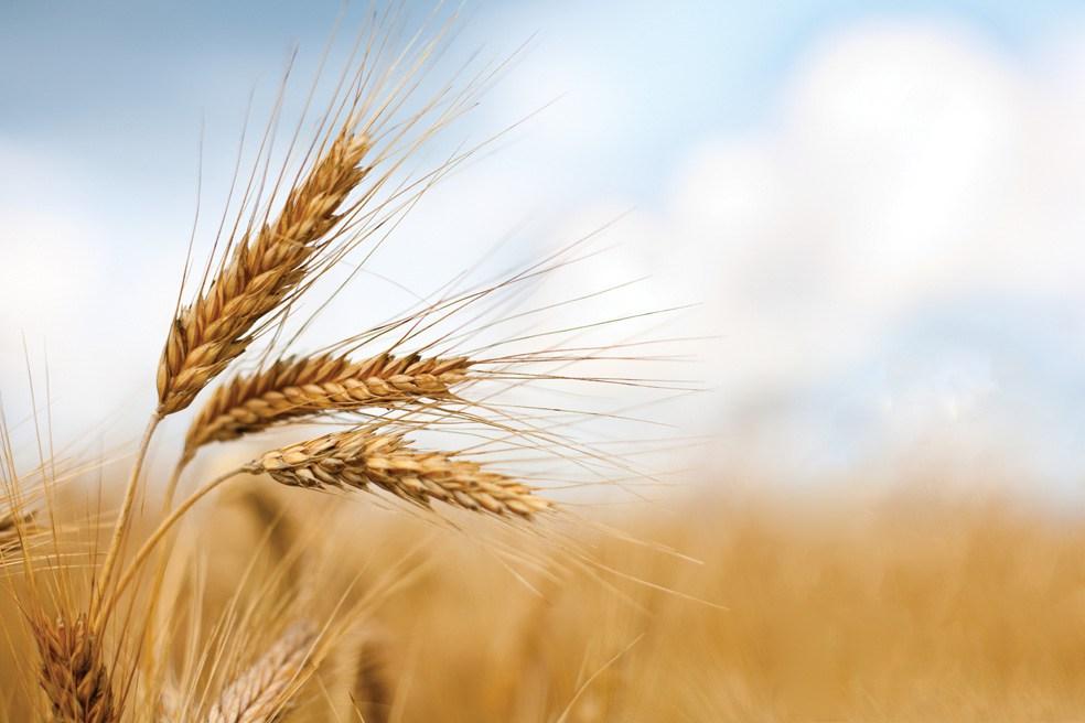 60 mila quintali di grano duro siciliano in Tunisia. E in Sicilia? Grano canadese, ucraino e kazaco…