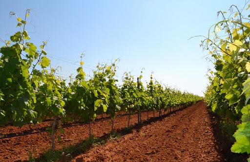 """Franco Calderone (ET Sicilia): """"Agea non ostacoli chi vuole rinnovare i propri impianti di uva da vino"""""""