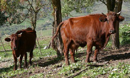 Aziende zootecniche nelle aree montane della Sicilia: la burocrazia regionale complica la vita ai giovani allevatori!