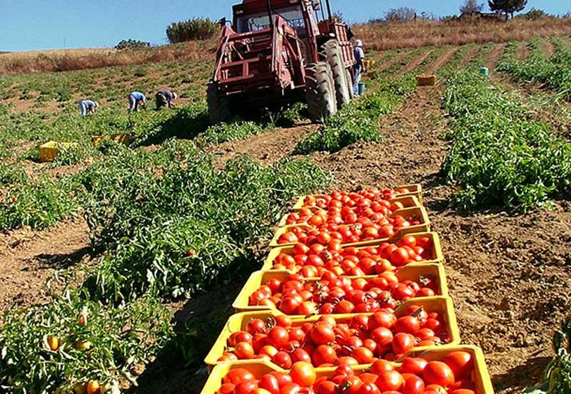 Pomodoro, l'operazione anti-caporalato in Puglia e l'abbandono del pomodoro di pieno campo in Sicilia