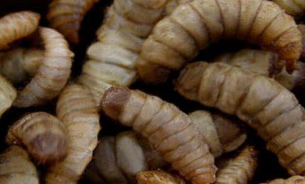 L'unione europea porta gli insetti sulle nostre tavole: cosa c'è dietro questa scelta economica e antropologica