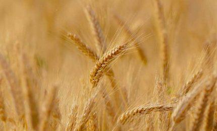 Agricoltura siciliana in ginocchio, crolla anche il prezzo del grano duro biologico