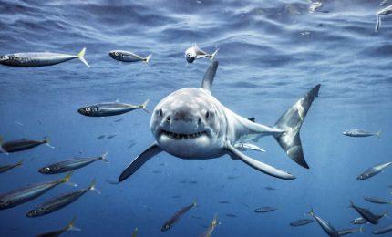Lo squalo? Non sempre è pericoloso. Oggi rischia l'estinzione: viene catturato per esse venduto come pescespada