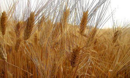 Prezzi del grano duro in crescita al Sud e in Sicilia (media 30 euro/quintale). Giuste le previsioni di Mario Pagliaro