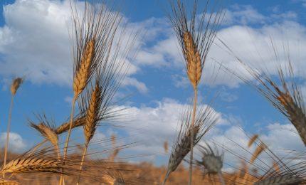 Il prossimo anno mancherà il grano duro per produrre pasta? L'allarme dei pastifici italiani. Verso l'aumento dei prezzi