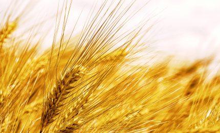 La crisi del grano canadese al glifosato e dell'industria della pasta. Grande occasione per Sud e Sicilia/ MATTINALE 488