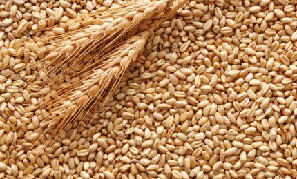 In Molise tanti agricoltori hanno venduto il grano duro a Luglio a 30 euro regalando circa 15 euro di guadagno ai commercianti!/ MATTINALE 481
