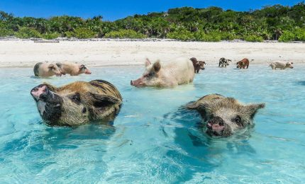 A Vieste maiali in spiaggia fanno il bagno con i turisti (VIDEO)