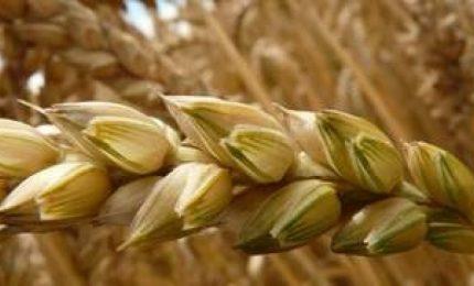 Allarme micotossine per il grano del Centro Nord Europa e del Canada eventualmente importato in Italia?