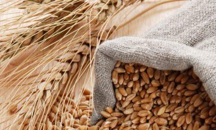 Incredibile: si sono presi a umma umma il grano duro antico siciliano Perciasacchi e gli hanno cambiato il nome! E' normale tutto questo?/ MATTINALE 491