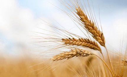 Calano drasticamente in Italia le importazioni di grano duro canadese. In Sicilia prezzo del grano duro bloccato